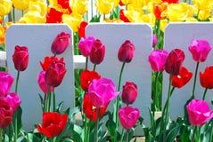 Amsterdam-Tulpenblühen Stockfotos