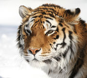 amur τίγρη πορτρέτου Στοκ Εικόνες