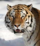 amur τίγρη πορτρέτου Στοκ Φωτογραφίες