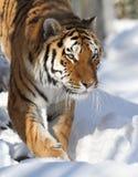 amur τίγρη Στοκ Εικόνες