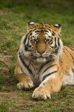 amur τίγρη Στοκ Φωτογραφίες