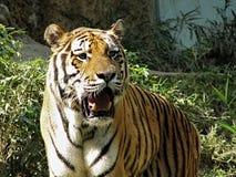 amur τίγρη Στοκ φωτογραφίες με δικαίωμα ελεύθερης χρήσης