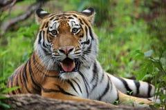 Τίγρη Amur Στοκ Φωτογραφίες