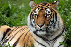 Amur Amore. Siberian or Amur Tiger laying in the grass Stock Images