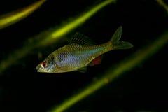 Amur Bitterling, Rhodeus-sericeus, Süßwasserfisch Stockfoto
