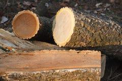 Amur cork tree firewood Royalty Free Stock Image