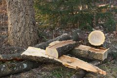 Amur cork tree firewood Royalty Free Stock Images