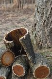Amur cork tree firewood Stock Photos