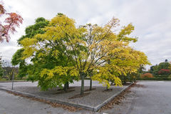 Amur cork tree Stock Photography