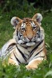 Amur Cub Royalty Free Stock Photo