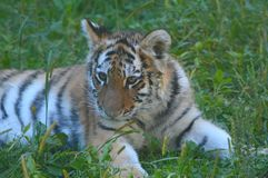 Amur curieux Tiger Cub Cameo Photo stock
