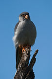 Amur Falcon. On branch with blue background Stock Image