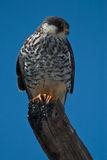 Amur Falcon. On branch looking right on blue background Stock Image