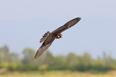 Amur falcon Falco amurensis Birds Flying Stock Photos