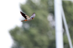 Amur Falcon Royalty Free Stock Photos