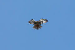 Amur falcon with red food hover in flight to hunt for pray Royalty Free Stock Photography