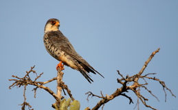 Amur Falcon royalty free stock photography