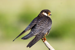 The Amur falcon is a small raptor of the falcon family. It breeds in south-eastern Siberia and Northern China before migrating in. Large flocks across India and stock image