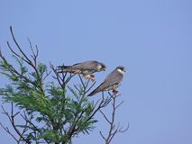 Amur falcons with caught prey Royalty Free Stock Photo
