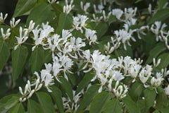 Amur honeysuckle in blossom. Amur Honeysuckle (Lonicera maackii). Called Bush Honeysuckle also royalty free stock photography