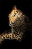 Amur lampart Obraz Royalty Free