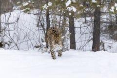 Amur lampart w śniegu Zdjęcia Royalty Free