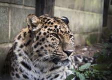 Amur lampart w niewoli fotografia royalty free