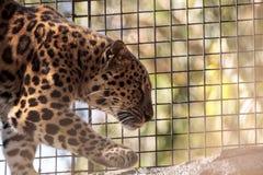 Amur lamparta Panthera pardus nazwani orientalis Zdjęcie Royalty Free