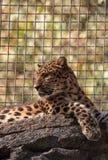 Amur lamparta Panthera pardus nazwani orientalis Obrazy Royalty Free