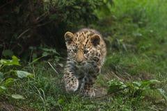 Amur lamparta Panthera pardus orientalis Zdjęcia Stock
