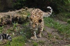 Amur lamparta Panthera pardus orientalis Obraz Royalty Free
