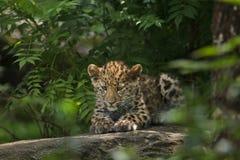 Amur lamparta Panthera pardus orientalis Fotografia Royalty Free