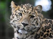 Amur leopard Royaltyfria Bilder