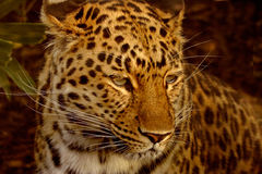 Amur Leopard. The Amur Leopard is an endangered species and is natve to the far east Royalty Free Stock Image