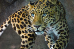 Amur-Leopard Lizenzfreie Stockfotos