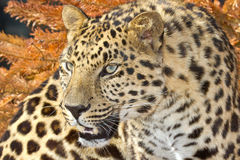 Amur leopard. Gazing with striking eyes stock images