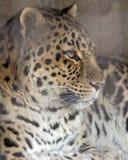 amur leopard Στοκ εικόνες με δικαίωμα ελεύθερης χρήσης