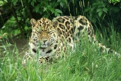 Amur Leopard 2. Amur Leopard laying in the grass Royalty Free Stock Images