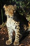 amur leopard Arkivfoton