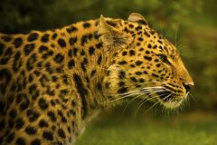Free Amur Leopard Royalty Free Stock Photography - 2378327