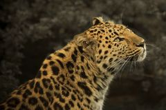 Amur Leopard. Rare Amur Leopard in captivity. The photo is taken from side on to the walking leopard and shows the head and shoulders in profile royalty free stock photos