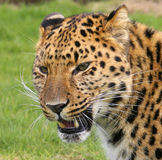 Amur Leopard royalty free stock photo