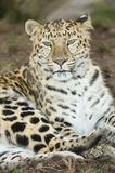 Amur Leopard. (panthera pardus orientalis) looking at viewer - portrait orientation Stock Photo