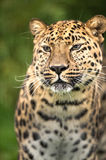 Amur Leopard royalty free stock images