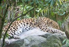 Amur Leopard 3 Royalty Free Stock Images