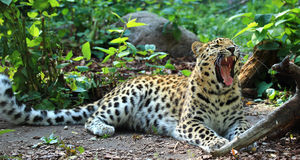 Amur-Leopard Lizenzfreies Stockbild