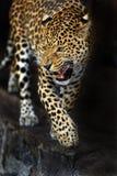 Amur Leopard Royalty Free Stock Photos