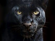 Amur-Leopard Stockbild