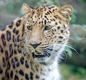 Amur Leopard 4. Portrait of nice amur Leopard Stock Images