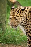 Amur Leopard 4. Portrait of a Amur Leopard from the left Royalty Free Stock Image